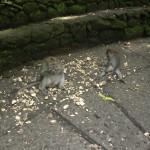 Ahmatti-apinat Monkey Forestissa